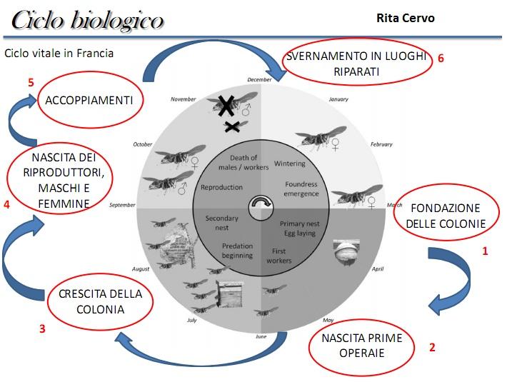 ciclo biologico calabrone
